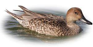 Identifying a Female Pintail