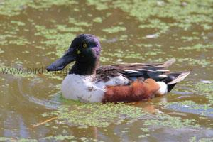 Identifying a Male Northern Shoveler