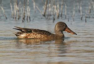 Identifying a Male Northern Shoveler in Summer