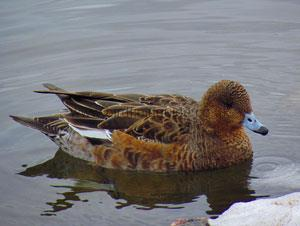 Identifying a Male Wigeon in Summer