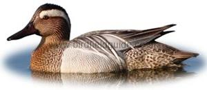 Identifying a Garganey