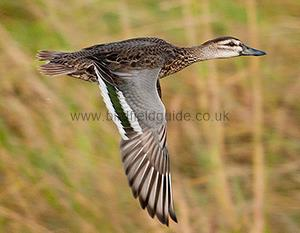 Identifying a MaleGarganey in Autumn