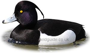 Identifying a Tufted Duck
