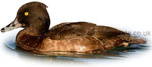 Identifying a Female Tufted Duck