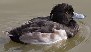 Identifying a Male Tufted Duck in eclipse