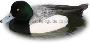 Identifying a Male Scaup