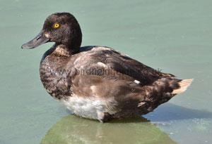 Identifying a Male Scaup Summer