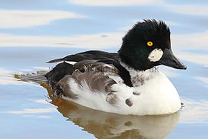 Identifying a Goldeneye in Winter