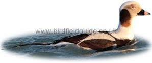Identifying a Long-tailed Duck