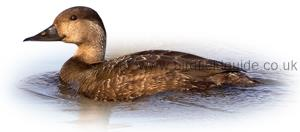 Identifying a Female common Scoter