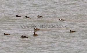 A flock of Common scoter
