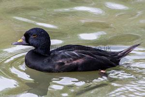 Common Scoter Male
