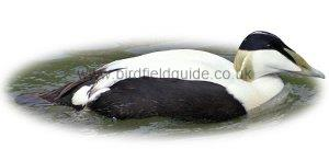 Identifying a Male Eider duck