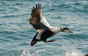Male Eider flying