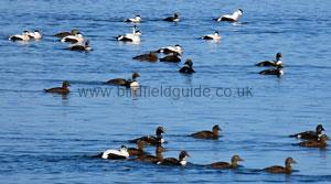 Flock of Eider on sea
