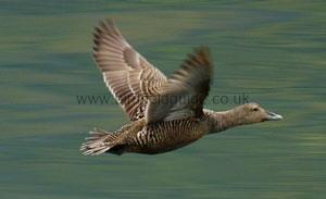 Female Eider flying