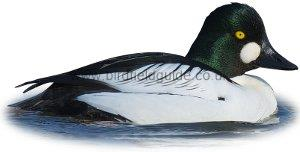 Identifying a Goldeneye Duck