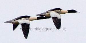 Male Goosander flying