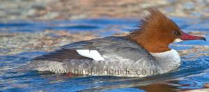 Male Goosander in summer