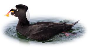 Identifying a Surf Scoter Male