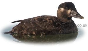 Identifying a Female Surf Scoter