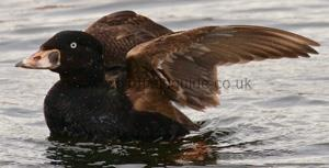 Identifying a Surf Scoter 1st winter