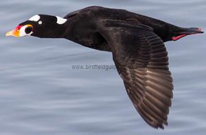 Identifying a Surf Scoter flying
