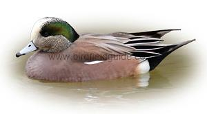 Identifying an American Wigeon