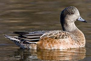 Identifying a Female American Wigeon