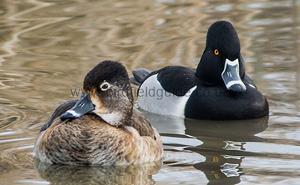A pair of Ring-necked Duck