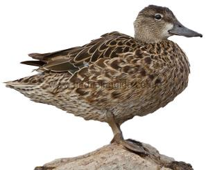 Identifying a Female Blue-winged Teal
