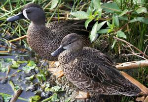 A Male Blue-winged Teal with Female