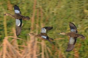 Male Blue-winged Teal with Female in flight